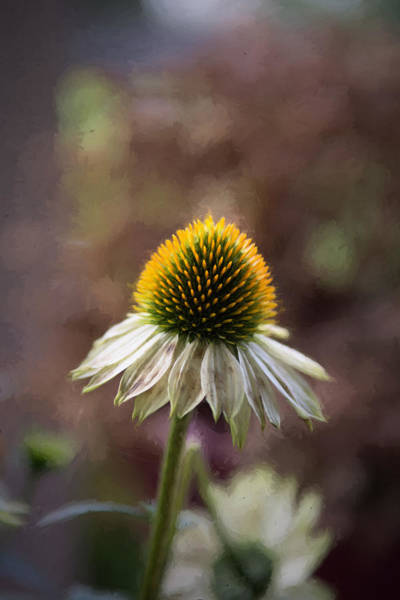 Photograph - Autumn Coneflower by Guy Whiteley