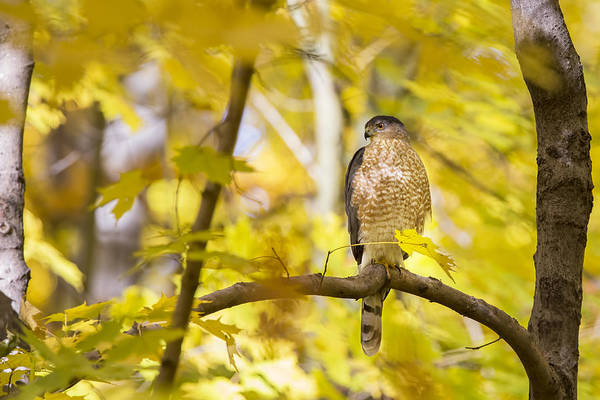 Wall Art - Photograph - Autumn Cooper's Hawk  by Mircea Costina Photography