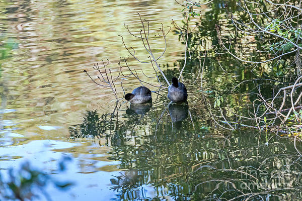 Photograph - Autumn Coots by Kate Brown
