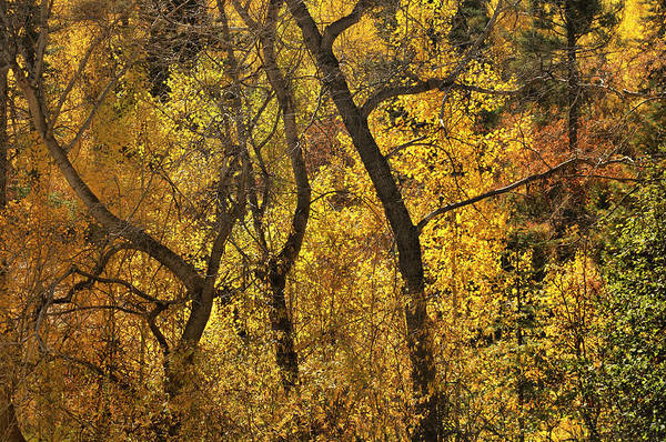 Photograph - Autumn Cottonwood Thicket by Ron Cline
