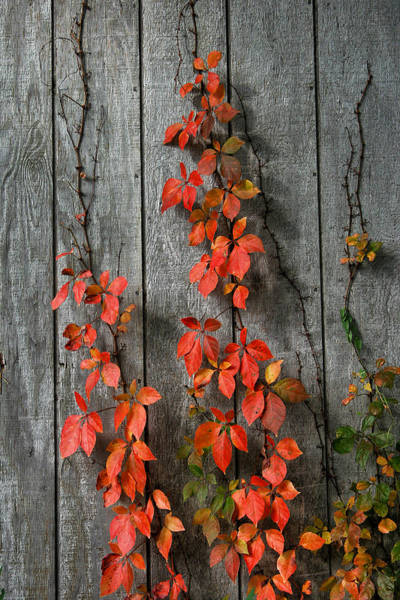 Photograph - Autumn Creepers by William Selander