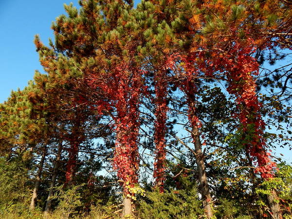Photograph - Autumn Creeps Up The Pines by Wild Thing