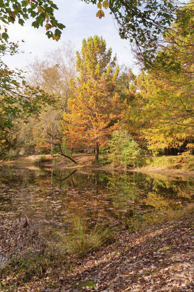 Photograph - Autumn Cypress At Jeffries Creek by MM Anderson