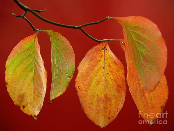 Wall Art - Photograph - Autumn Dogwood Leaves On Red by Anna Lisa Yoder