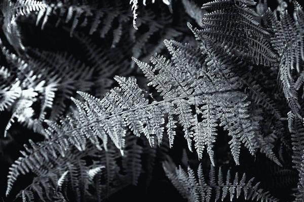 Photograph - Autumn Ferns Black And White by Tom Singleton
