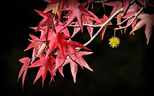 Photograph - Autumn Fire by AJ Schibig
