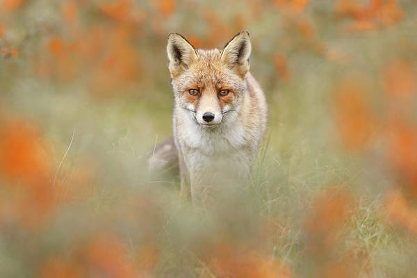 Wall Art - Photograph - Autumn Fox by Roeselien Raimond
