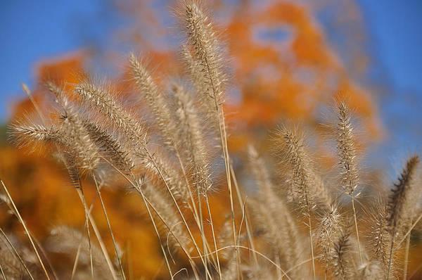 Photograph - Autumn Foxtail - Multiple by Frank Mari