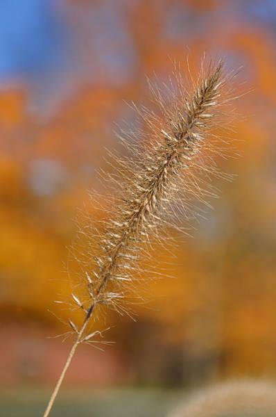 Photograph - Autumn Foxtail - Single by Frank Mari
