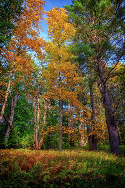Photograph - Autumn Glow In The Woods by Rick Berk