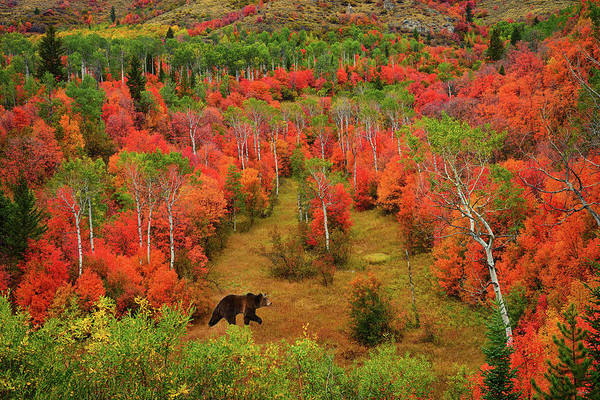 Photograph - Autumn Grizzly by Greg Norrell