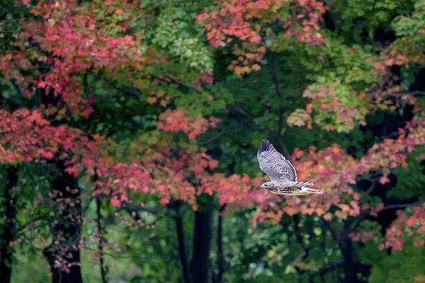 Photograph - Autumn Hawk by Bill Wakeley