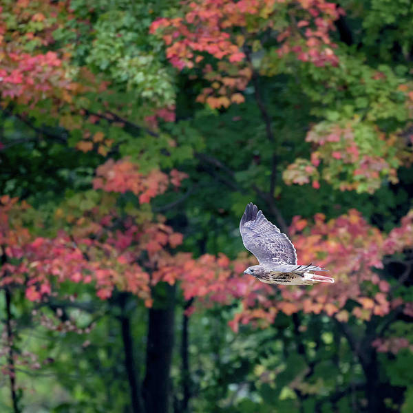 Photograph - Autumn Hawk Square by Bill Wakeley