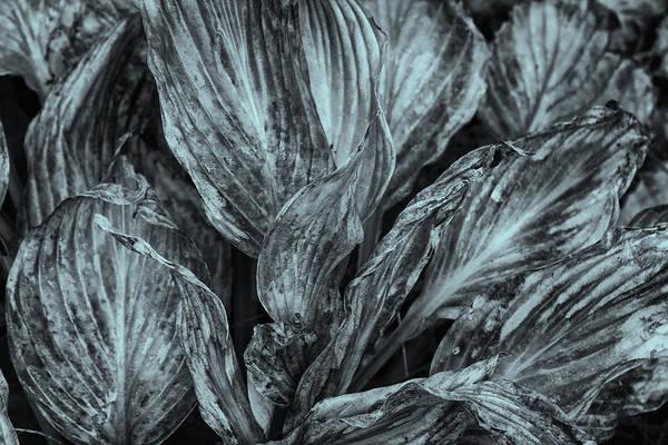 Photograph - Autumn Hostas In Black And White by Tom Singleton
