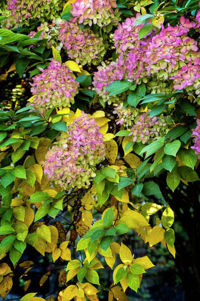 Photograph - Autumn Hydrangea by Tom Singleton
