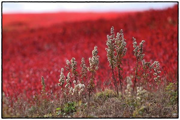 Photograph - Autumn In The Blueberry Field by John Meader