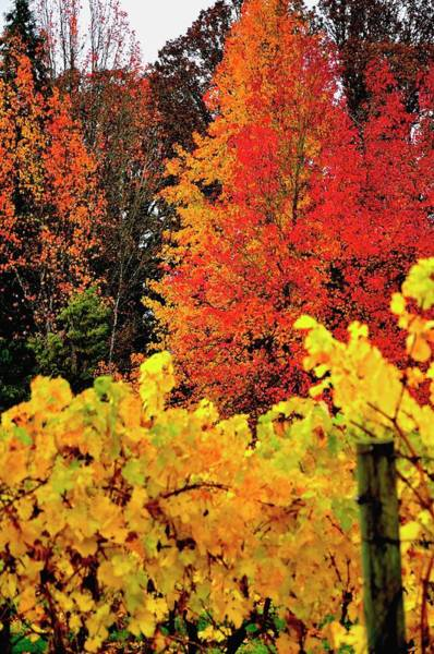 Photograph - Autumn In The Vineyard by Jerry Sodorff