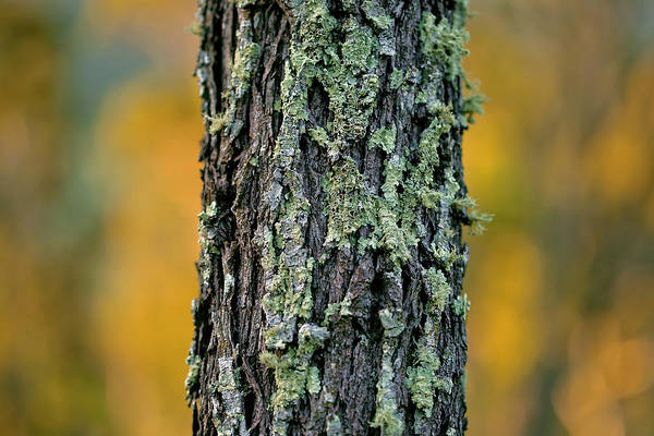 Moss Green Photograph - Autumn Ironbark by Az Jackson
