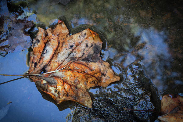Photograph - Autumn Leaf by Debra and Dave Vanderlaan