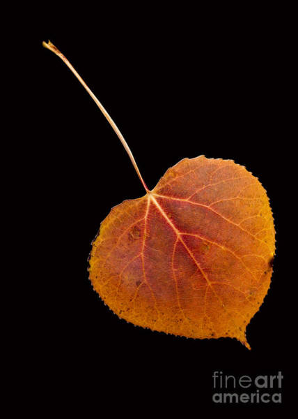 Single Leaf Wall Art - Photograph - Autumn Leaf  by Edward Fielding