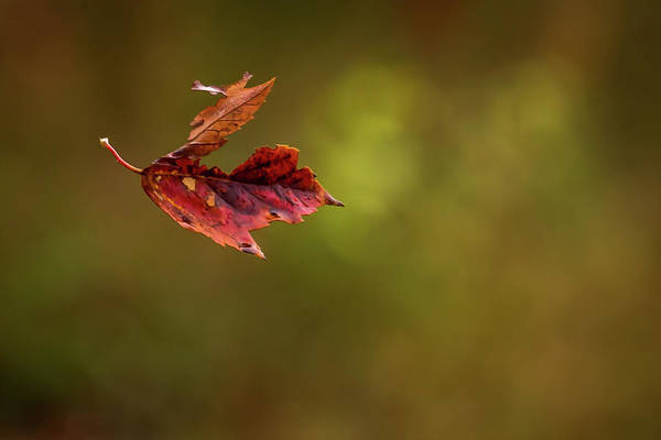 Photograph - Autumn Leaf Falling  by Terry DeLuco