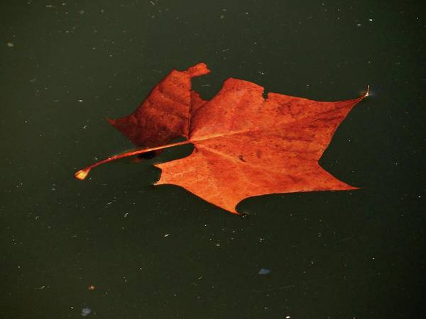 Photograph - Autumn Leaf by Jenny Regan