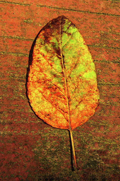 Photograph - Autumn Leaf Two by Tikvah's Hope