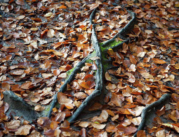 Photograph - Autumn Leaves And Roots by Helen Northcott