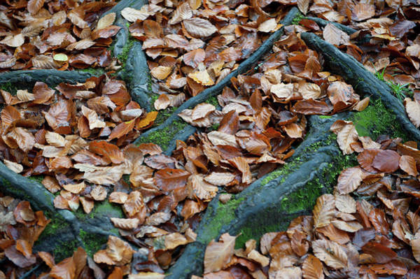 Photograph - Autumn Leaves And Roots II by Helen Northcott