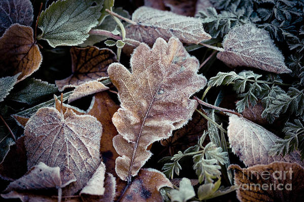 Photograph - Autumn Leaves Frozen Artmif.lv by Raimond Klavins