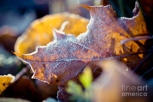Photograph - Autumn Leaves Frozen by Raimond Klavins