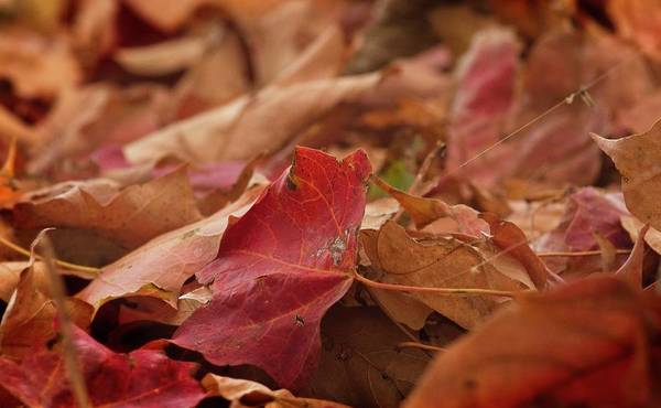 Photograph - Autumn Leaves by Garvin Hunter