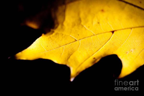 Photograph - Autumn Leaves Mapple by Raimond Klavins