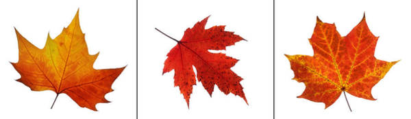 Photograph - Autumn Leaves Triptych by Gill Billington