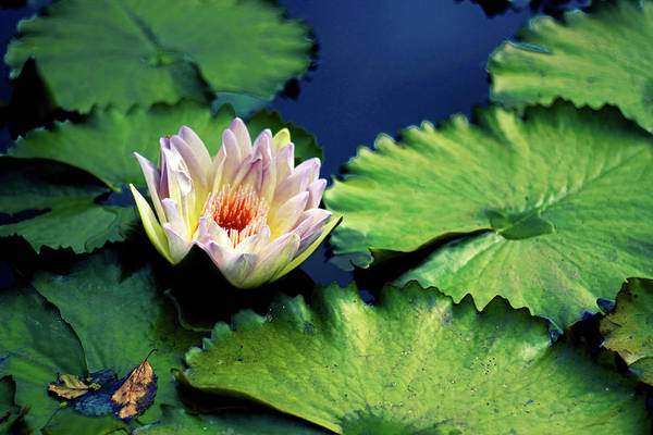 Lily Pads Photograph - Autumn Lily by Jessica Jenney