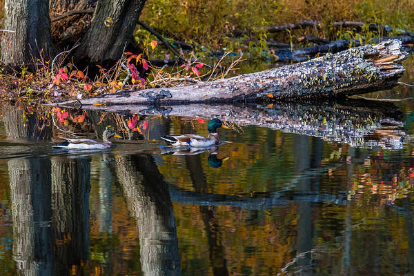 Photograph - Autumn Mallards by Eleanor Abramson