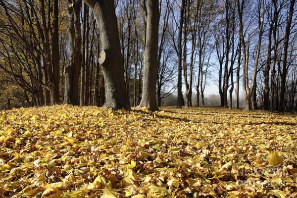 Photograph - Autumn Maple Forest - Massachusetts Usa by Erin Paul Donovan