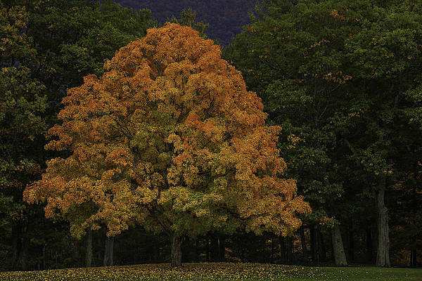 Photograph - Autumn Maple by Garry Gay