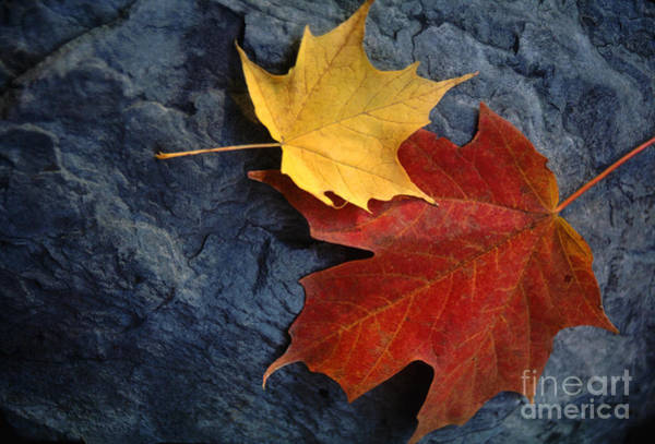 Wall Art - Photograph - Autumn Maple Leaf Pair On Moody Rock by Anna Lisa Yoder