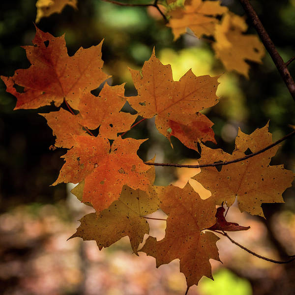Wall Art - Photograph - Autumn Maple Leaves by Paul Freidlund