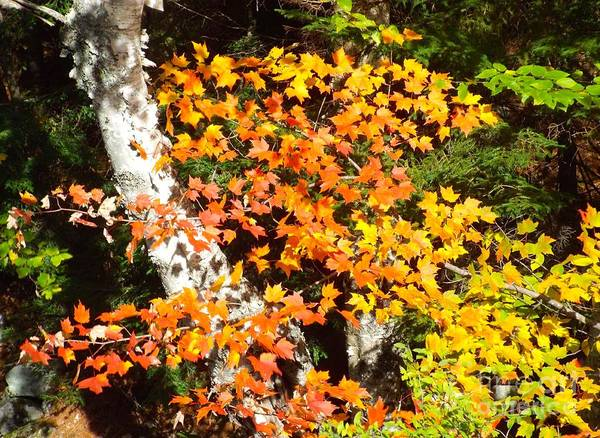 Photograph - Autumn Maple by Barbara Von Pagel