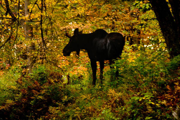 Wall Art - Photograph - Autumn Moose by Brent L Ander