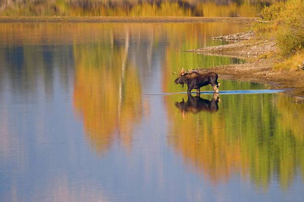 Photograph - Autumn Moose by Steve Stuller