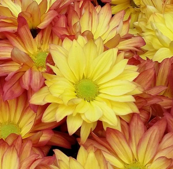 Photograph - Autumn Mums by Karen J Shine
