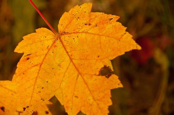 Photograph - Autumn Oak Leaf by Brenda Jacobs