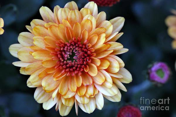 Photograph - Autumn Orange Mum Macro by Karen Adams