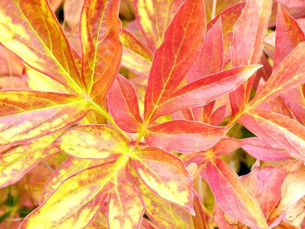 Wall Art - Digital Art - Autumn Peony Leaves by Will Borden
