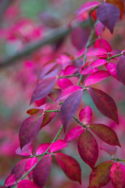 Passionate Photograph - Autumn Pink And Purple by Karol Livote