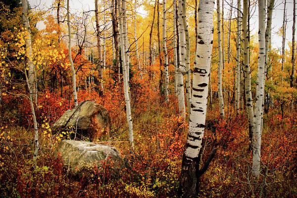 Photograph - Autumn Quakies by TL  Mair