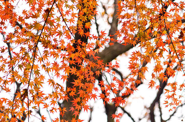 Autumn Red Leaves On A Tree   Art Print